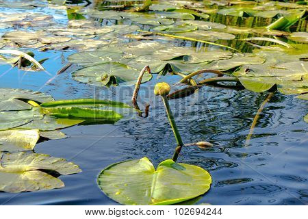 Plants Yellow Lily Looked Out Of The Water Núphar Lútea
