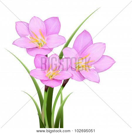 Pink Rain Lily (zephyranthes Rosea) Flower Isolated