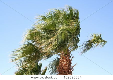 Palm Tree Under A Strong Wind