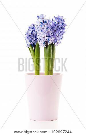 Blue Hyacinth.