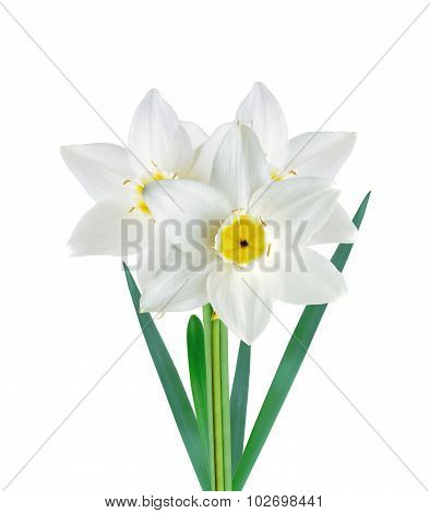 White And Yellow Color Daffodil Isolated On White Background