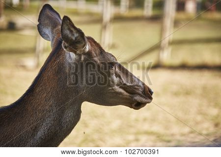 Red Deer Doe Portrait