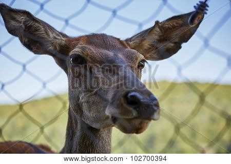 Curious Deer Female Portrait