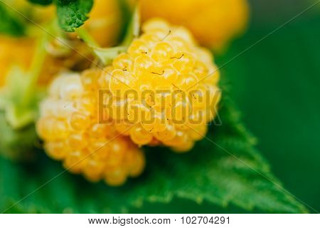 Yellow Raspberries. Two Growing Organic Berries. Ripe Raspberry