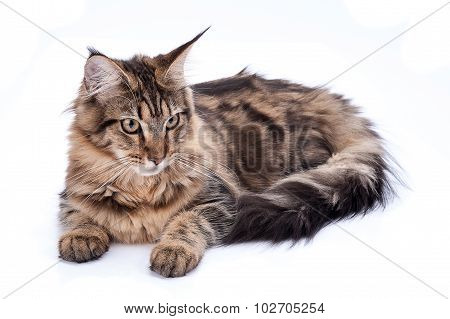 Maine Coon Cat, Sitting And Facing, Isolated On White