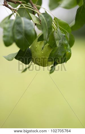 Ripe pear with rain drops hanging from the tree