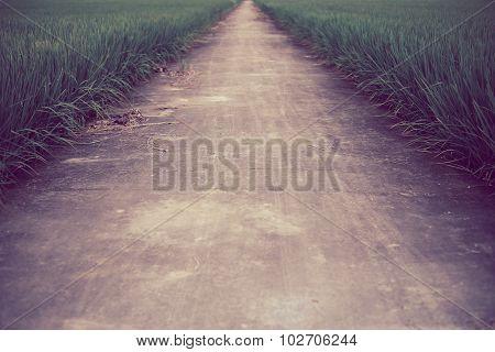 The Way In Farm Rice Field