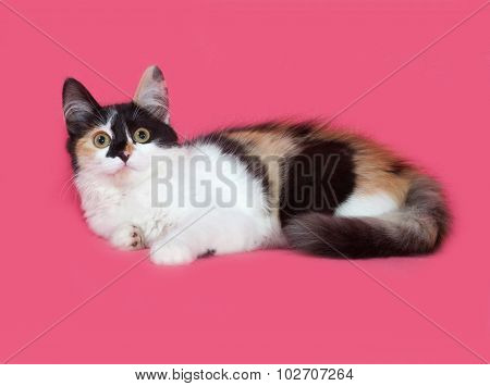 Tricolor Fluffy Kitten Lies On Pink
