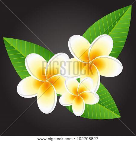 Plumeria white flowers