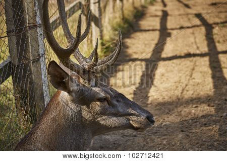 Red Deer Male Head