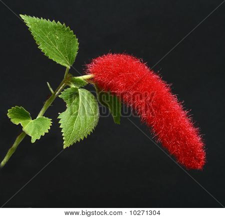 Chenille plant (Acalypha hispida)
