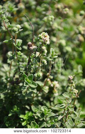 Lemon Thyme (thymus Citriodorus)