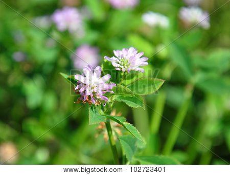 Persian Clover (trifolium Resupinatum)