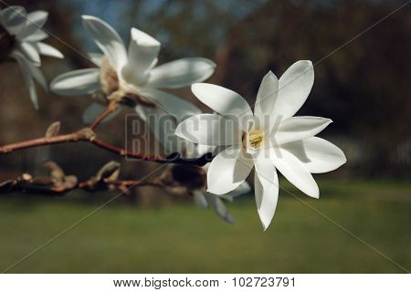 Beautiful Magnolia Flower. Creamy Blossom.