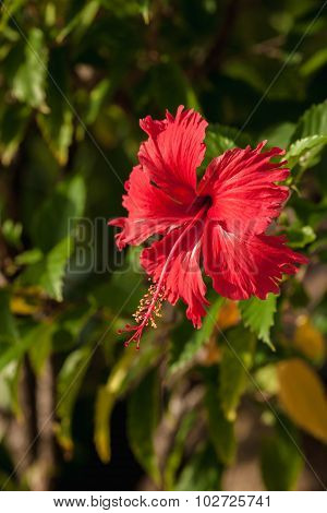 The red hibiscus flower