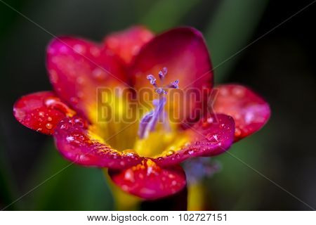 Freesia With Rain Droplets