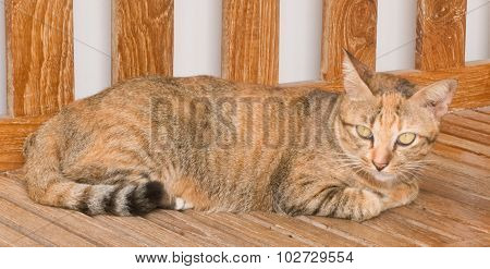 Brown Domestic Cat Resting On A Wooden Chair