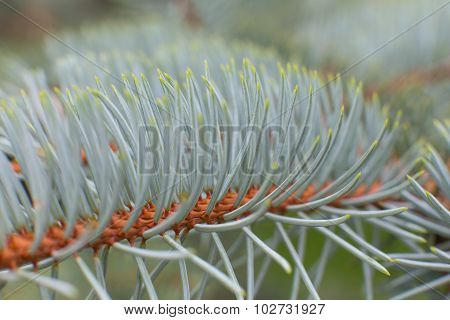 Fir Tree Needles Close Up