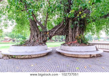 Twin Bodhi Trees In Ayutthaya Historic Park, Thailand.