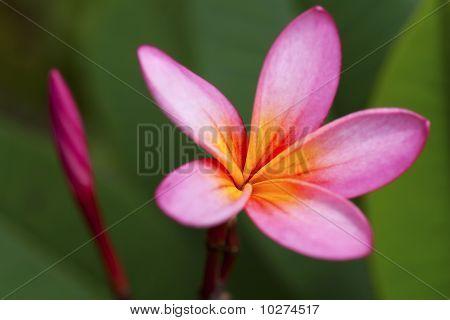 Close up of a Franzi Panzi flower.