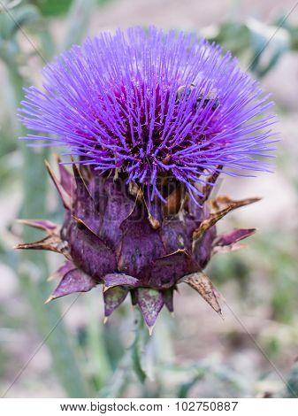 Cynara Cardunculus Flower
