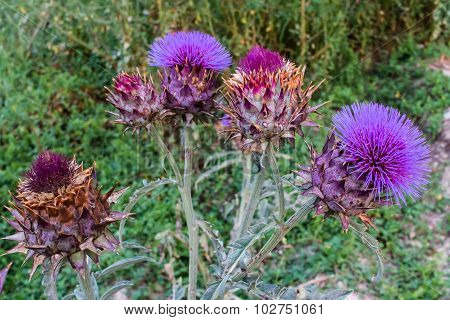 Cardoon, Cynara Cardunculus, Flower Arrangement