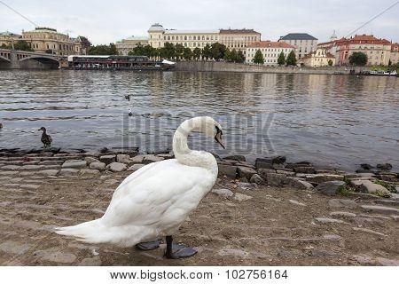 Swan on the banks of the Vltava. Prague. Czech Republic.