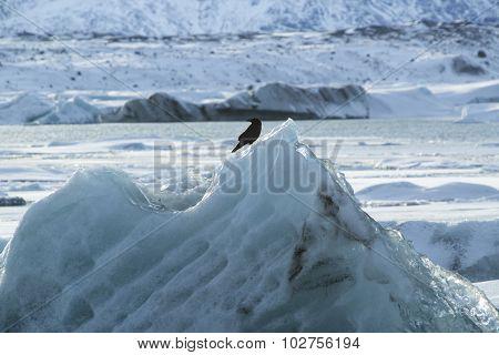 Raven Sits On An Ice Block At Jokulsarlon, Iceland