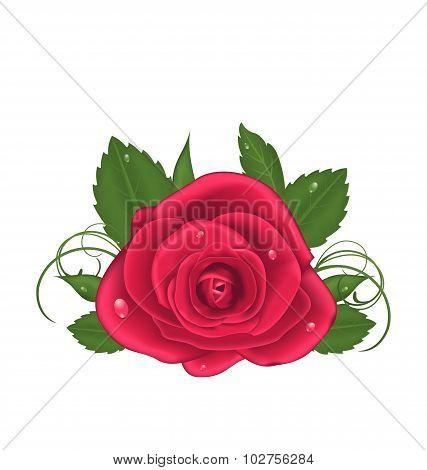 Close-up beautiful rose isolated on white background