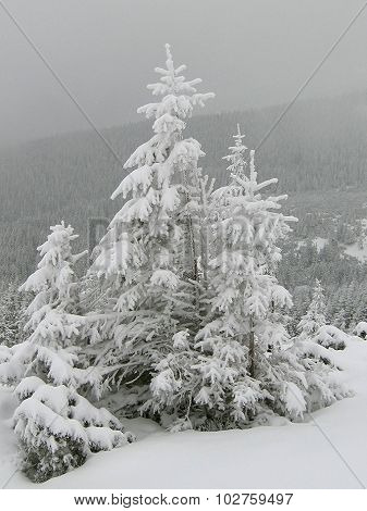 Snow-covered spruce trees, winter