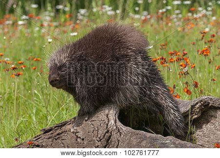 Porcupine (erethizon Dorsatum) Looks Over Shoulder