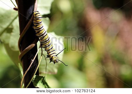 Monarch Butterfly Caterpillar On Milkweed Vine