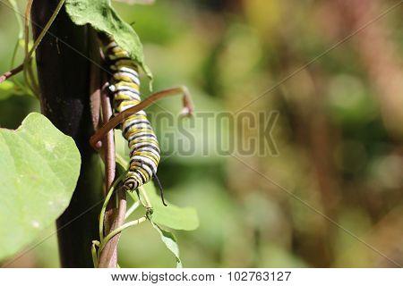 Monarch Butterfly Caterpillar On Milkweed Vine