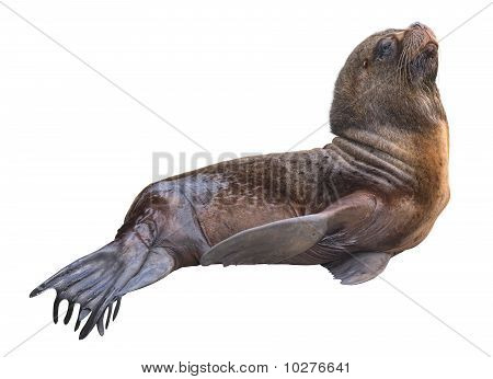 Sea Lion Male Cutout