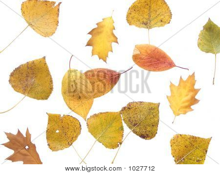 Autumn Leaf 13
