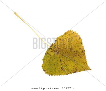 Autumn Asp Leaf