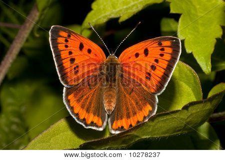 Lycaena (Chrysophanus) dispar rutilus (female)