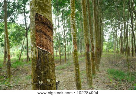 Rubber Tree or Hevea brasiliensis plantation in Malacca, Malaysia