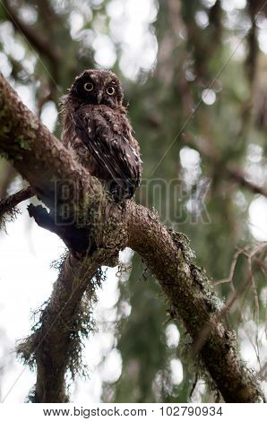 Young Boreal Owl In The Forest.