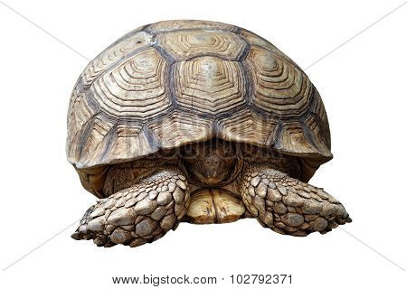 African Spurred Tortoise Or Geochelone Sulcata Isolated On White