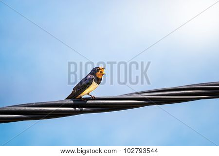 Singing Swallow On A Telephone Line
