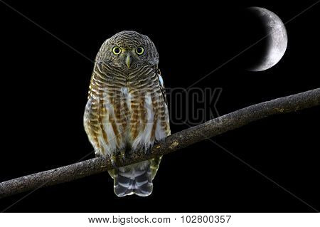 Asian Barred Owlet