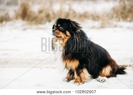Mixed Breed Small Size Black And Brown Colors Dog in Snow