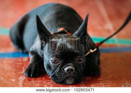 The French Bulldog is a small breed of domestic dog. Sad Black D