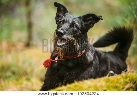 Happy Smiling Small Size Black Dog in Summer Forest.