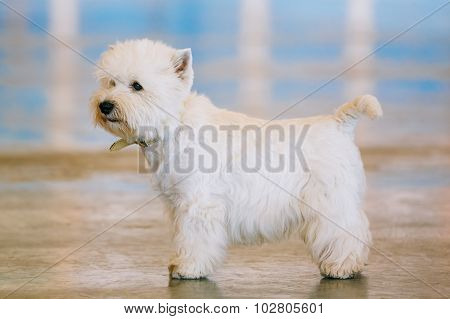 West Highland White Terrier, Westie, Westy, Dog Portrait