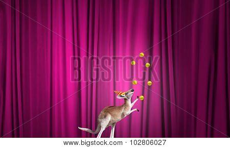 Circus kangaroo standing on ball and juggling with balls