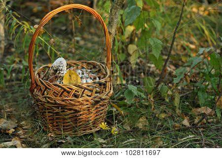 Cortinas Mushrooms