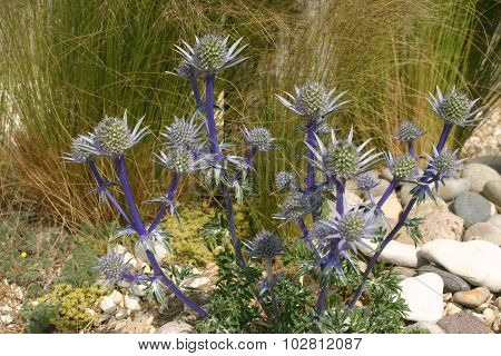Ornamental Sea Holly (Eryngium) flower