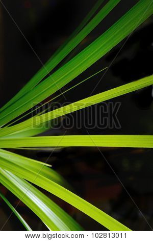 Green Leaves Isolate On Black Background